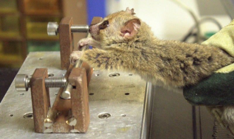 The World's Smallest Primate Can Do More Pullups Than You