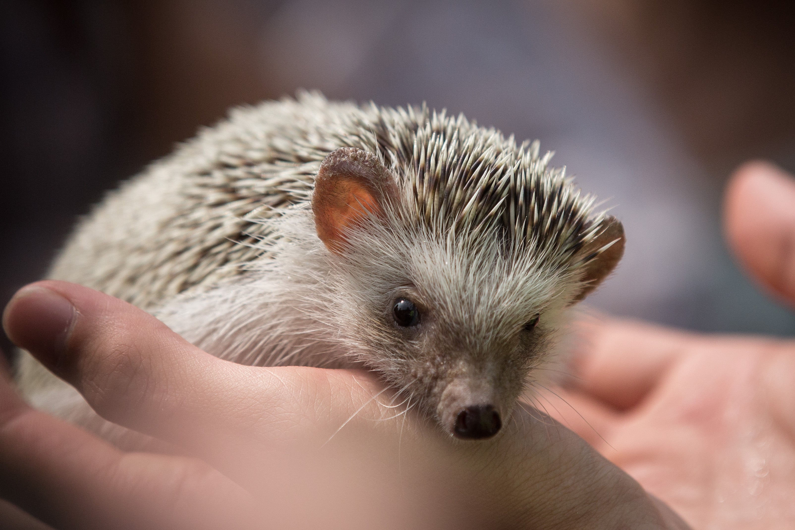 Turns Out, Hedgehogs Are At Home In Cities