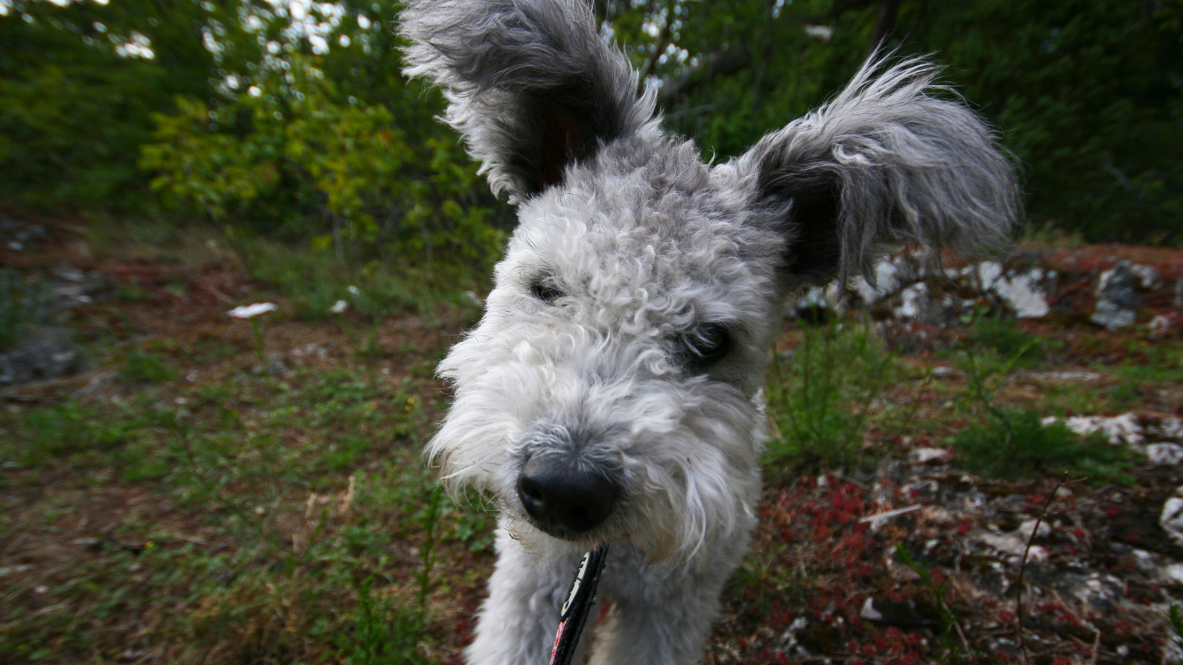 How The American Kennel Club Decides New Breeds