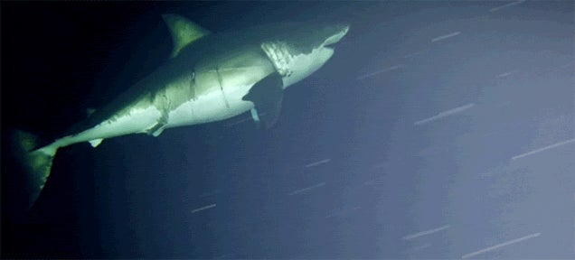A Great White Shark Got Caught Napping on Camera for the First Time Ever