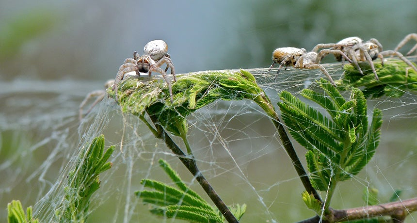 Virgin Velvet Spiders Allow Themselves To Be Eaten By Their Foster Kids