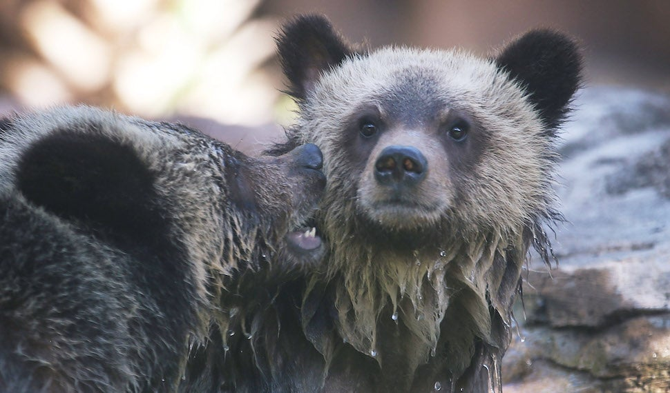 Eating Garbage Makes Bears Lazy As Hell, Just Like You And Me