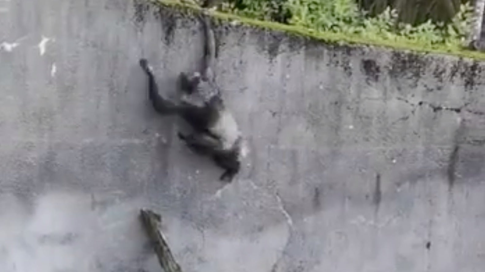 Chimps Use Branch As 'Ladder' In BoldAttempt At Escape From Belfast Zoo Enclosure