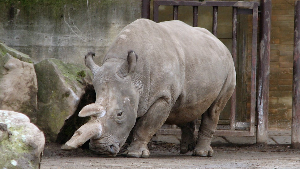 Zoos Are So Afraid Of Poachers They're Starting To Cut The Horns Off Their Rhinos