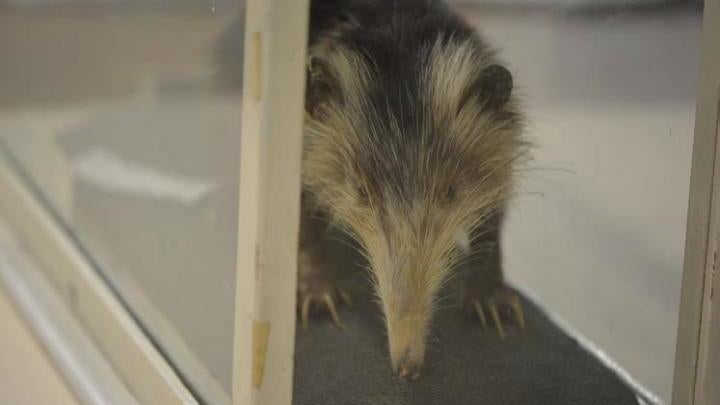 How This 'Slow', 'Clumsy' And Seriously Weird Animal Has Outsmarted Death