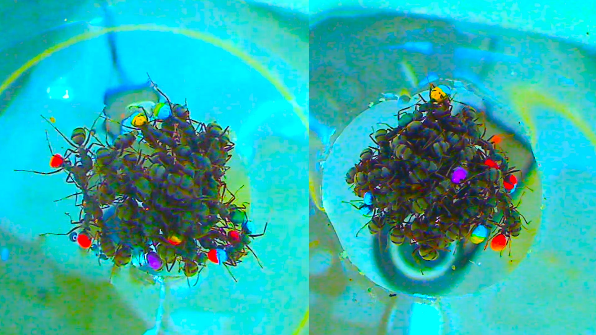 Life Rafts Made Entirely From Ants Are Surprisingly Sophisticated
