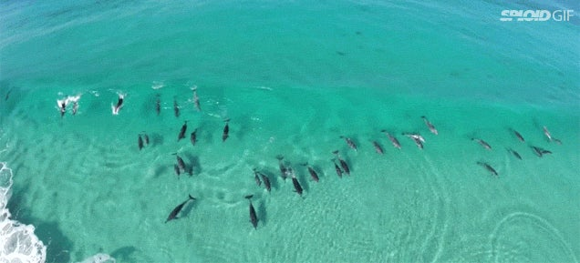 Beautiful drone footage shows a bunch of dolphins surfing for fun